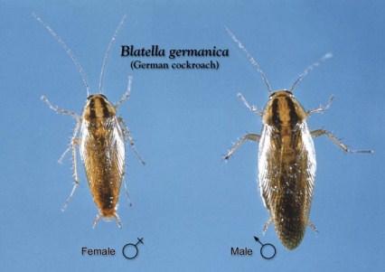 Γερμανική κατσαρίδα (Blattella germanica)