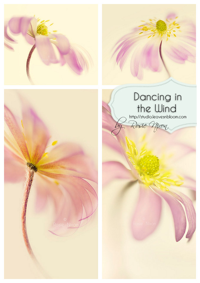 Dancing in the Wind fine art anemone blanda collection by Rosie Nixon