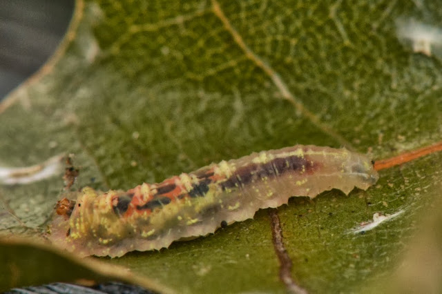 Flower fly larva - syrphid fly larva