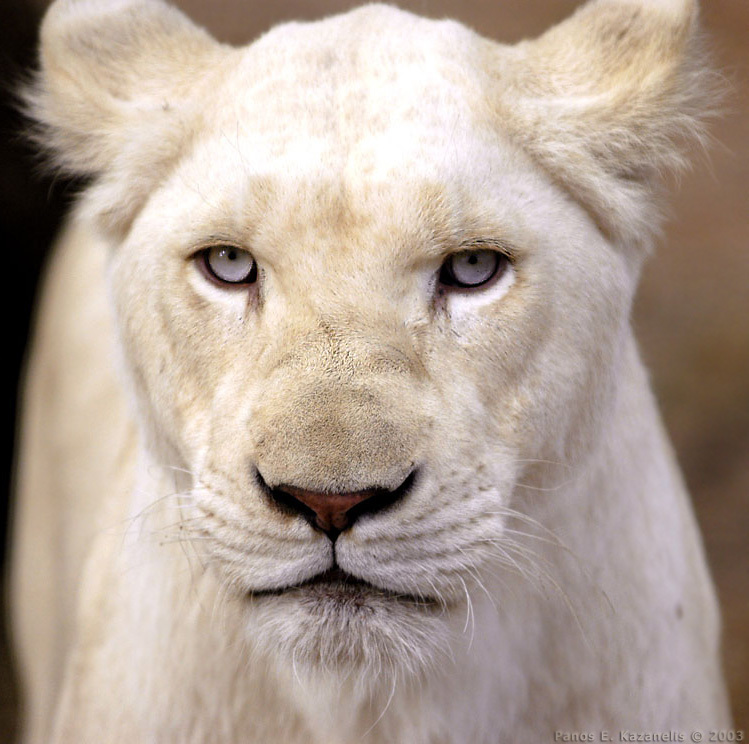 WHITE LIONs Desktop Wallpaper, desktop WHITE LION Picture, WHITE LION ...