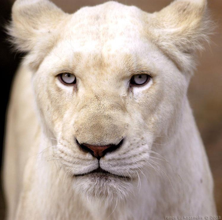 White lion face images - photo#7