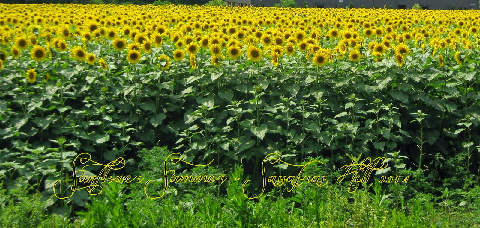 Sunflower Summer