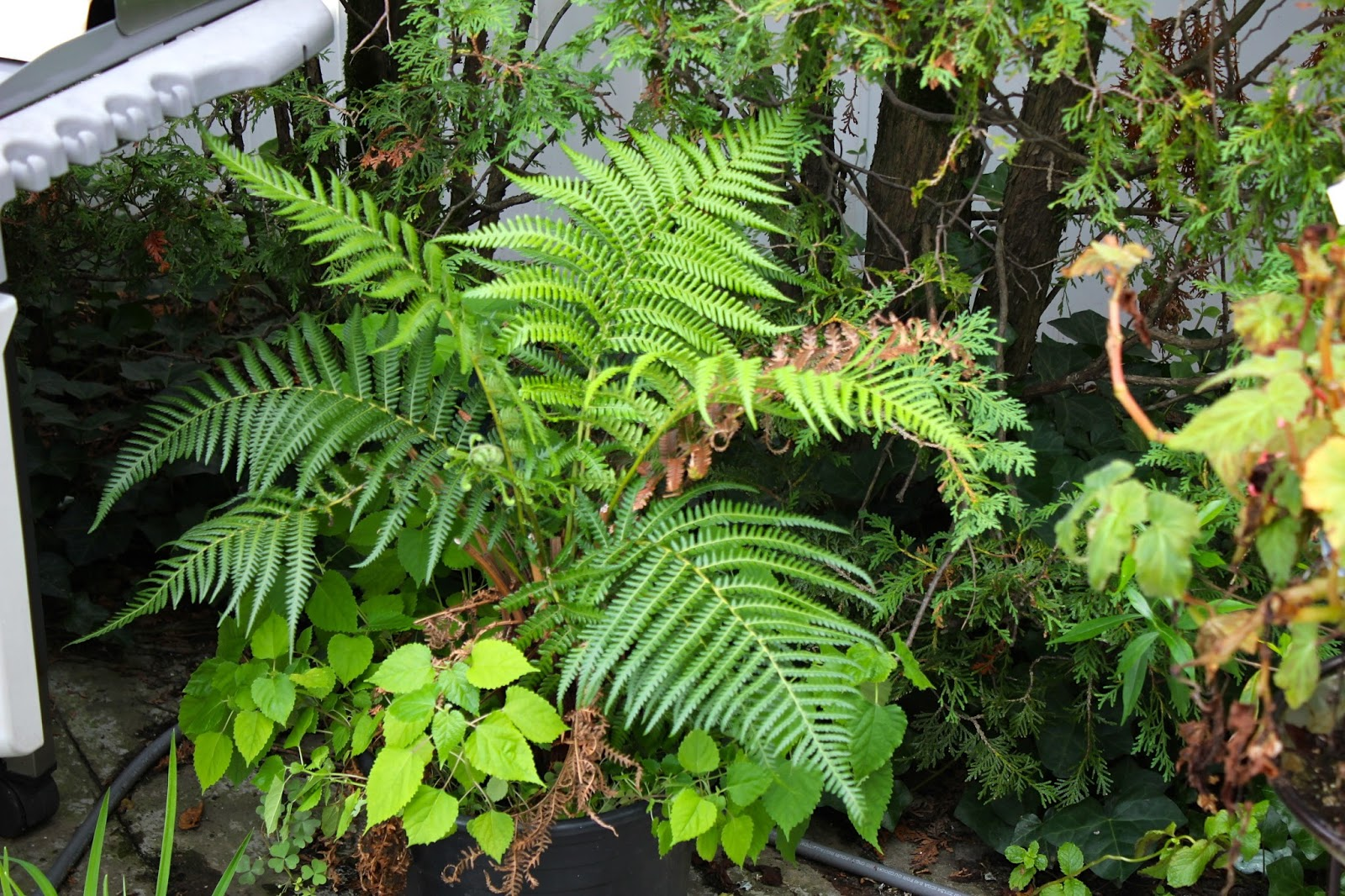 Tropical gardening in new york city dicksonia antarctica for Hardy plants for the garden