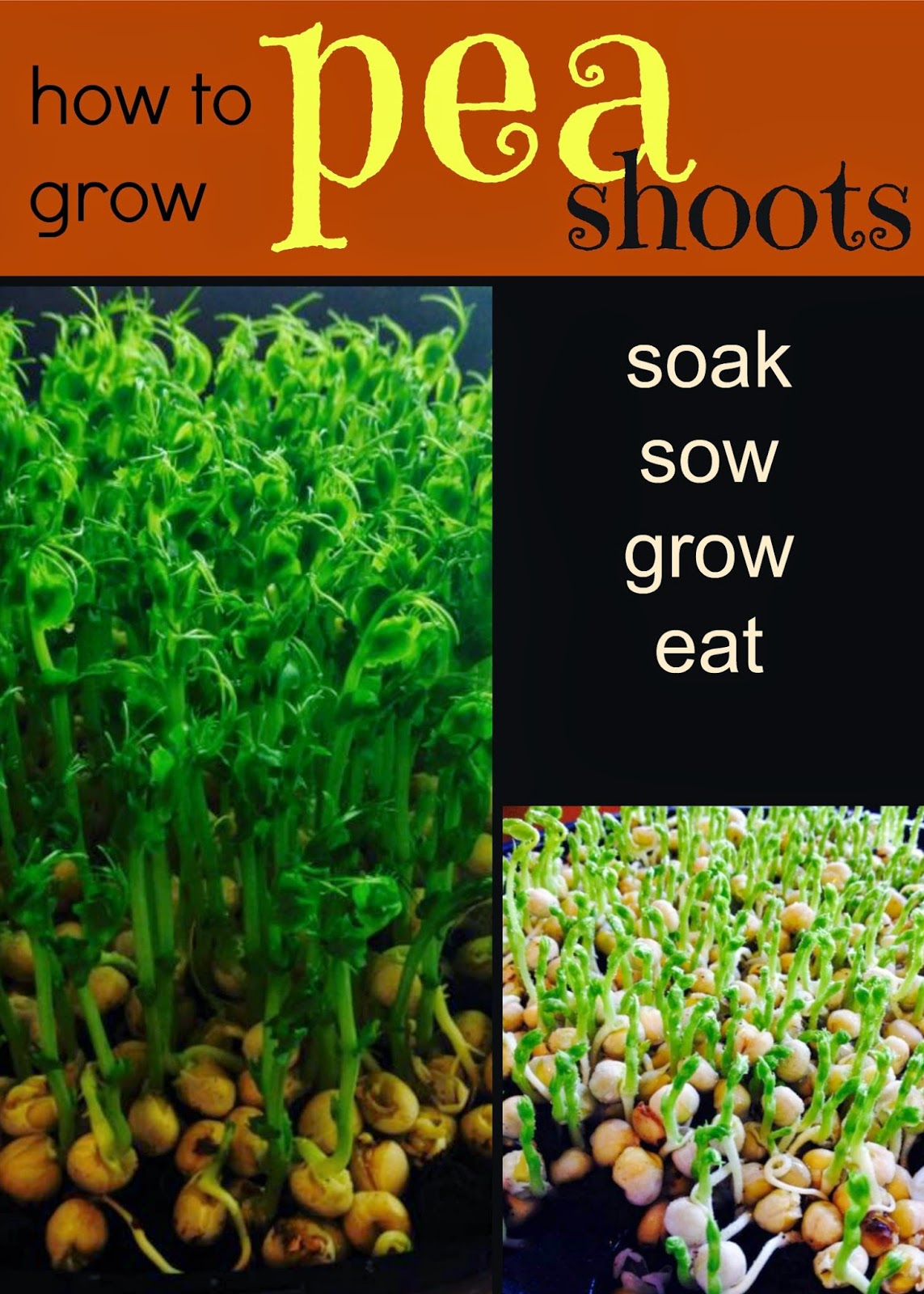 How to grow pea shoots indoors.