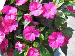 Destellos haikus de xaro la plantas haiku 675 - Planta alegria del hogar ...