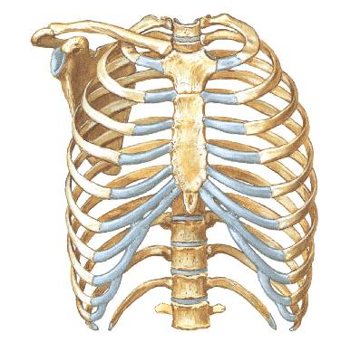 El Blog Del Fusil El Esqueleto Humano En Cifras