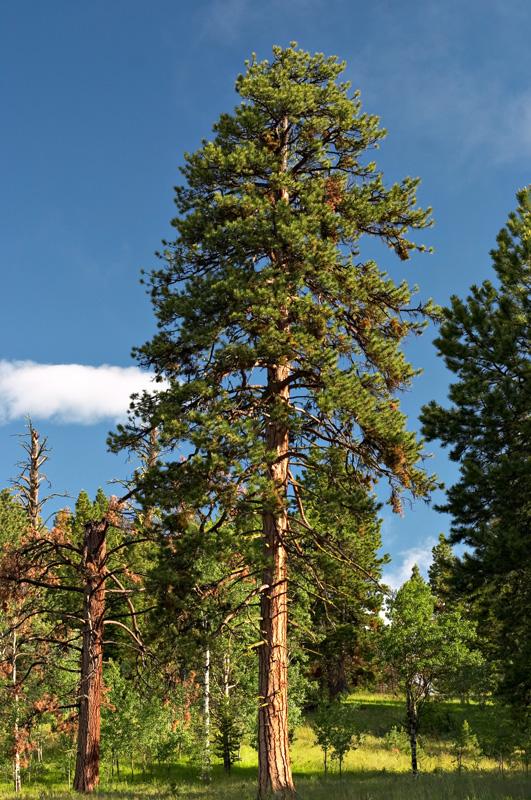 Western Yellow Pine tree