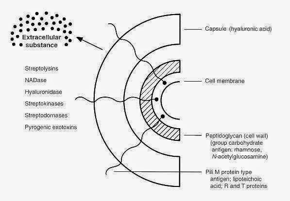 Cấu trúc kháng nguyên điển hình của Streptococcus. Ảnh minh họa.