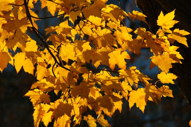 yellow maple fall leaves