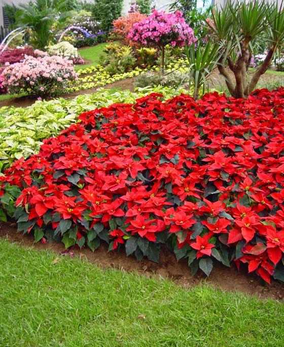 Invernablog flores de pascua para esta navidad for Como evitar que salga hierba en el jardin