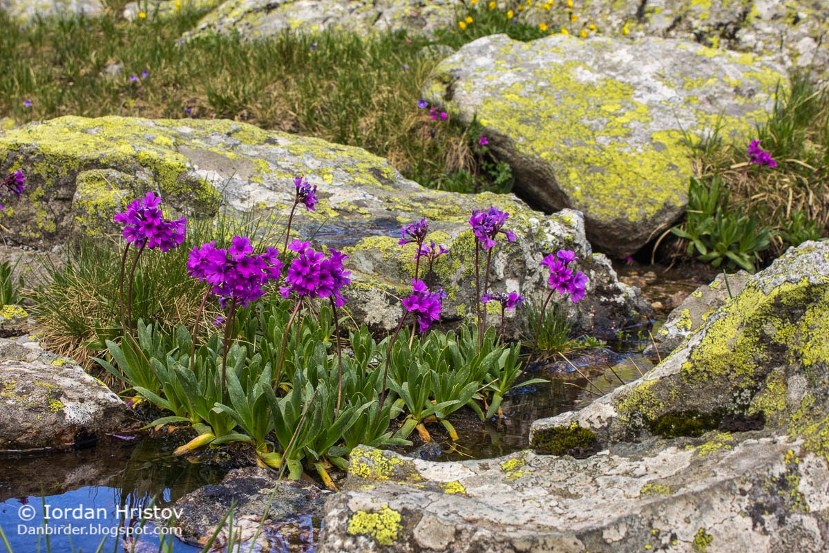 Rila Primrose Primula deorum, copyright Iordan Hristov