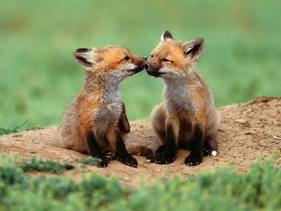 Foto Zorros pequeños besandose