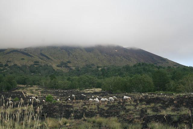 Grazing sheep on Etna, Sicily