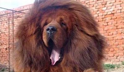 Zoo chino hacia pasar perros por leones