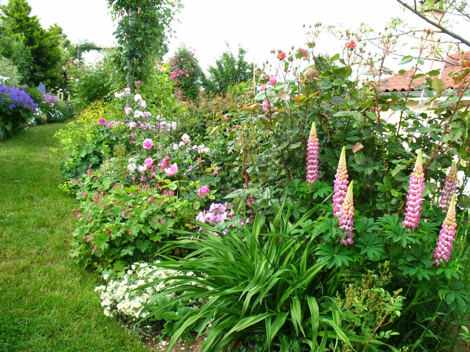 Roses du jardin ch neland premier semis lupins vivaces for Amenager son jardin avec des vivaces