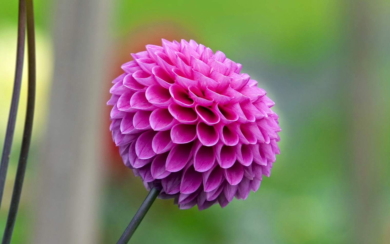 Flower Photos Most Beautiful Flowers In The World Dahlia
