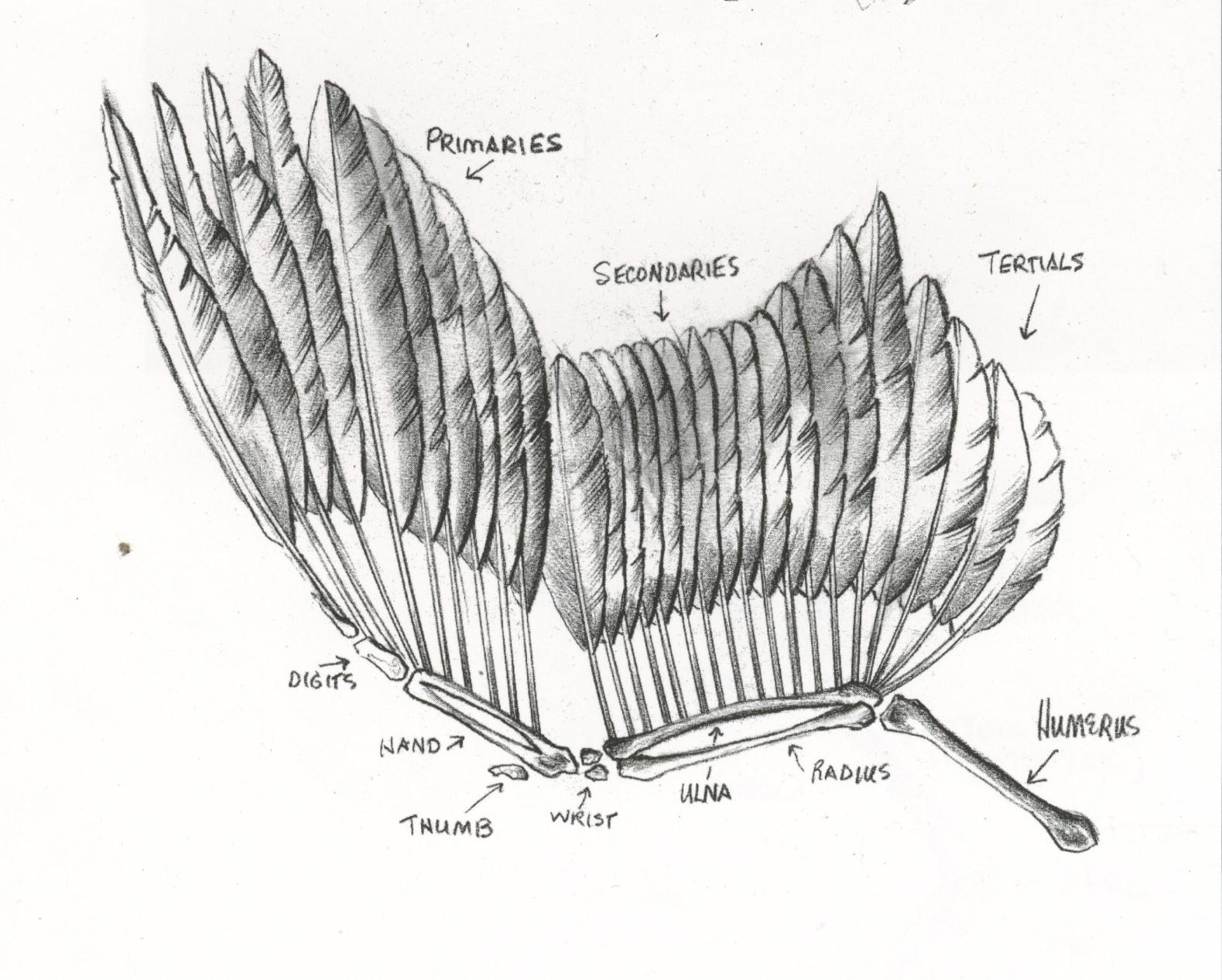 Bird Wing Bone Anatomy