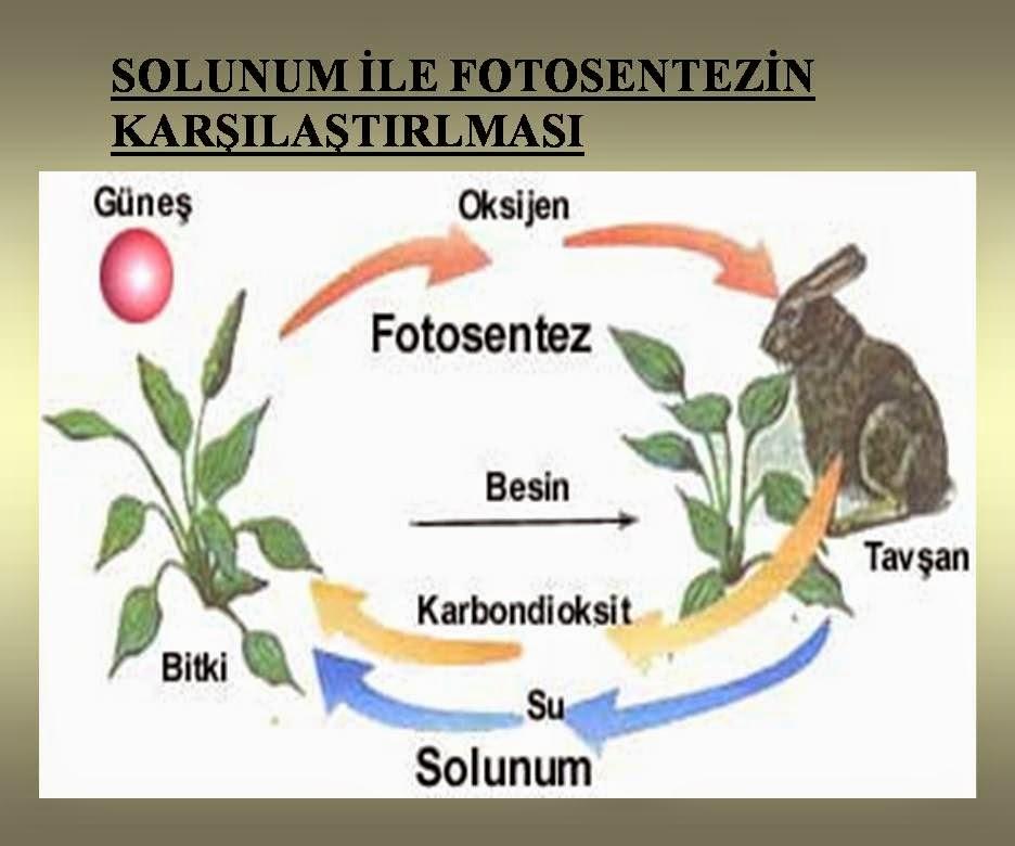 Solunum ve fotosentez nedir 97