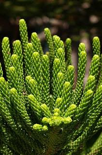 Jardineria, Catalogo de Plantas: Araucaria heterophylla