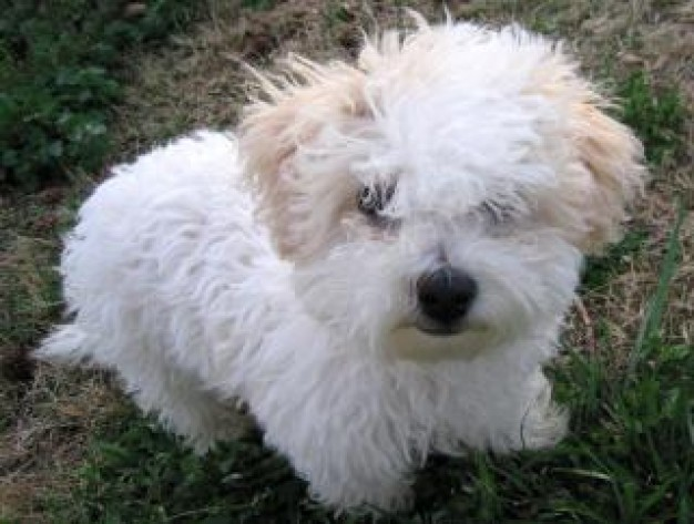 Cute Puppy Dogs: Cute bichon frise puppies