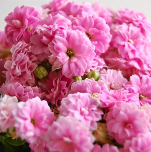 Kalanchoe en flor
