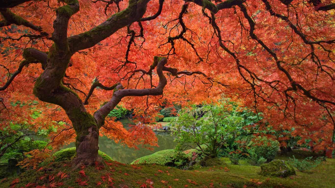 Japanese Maple Tree Varieties