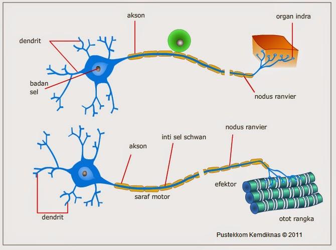 Welcome to study home sistem koordinasi dan alat indra pada manusia gambar sel saraf neuron ccuart Choice Image