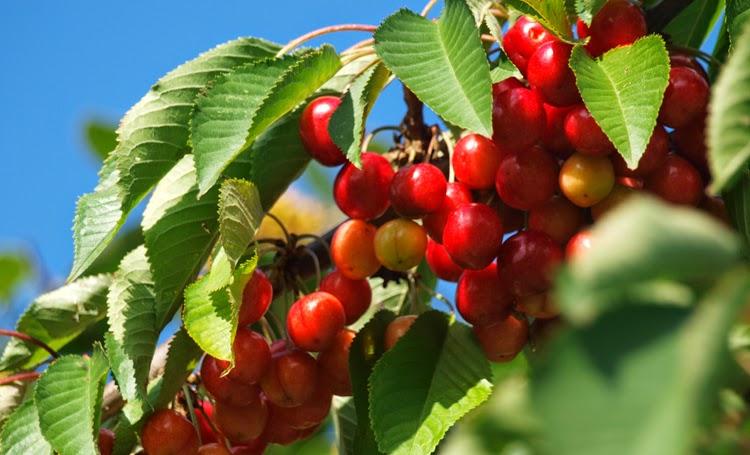 Kirsebærtræ i haven fyldt med røde frugter