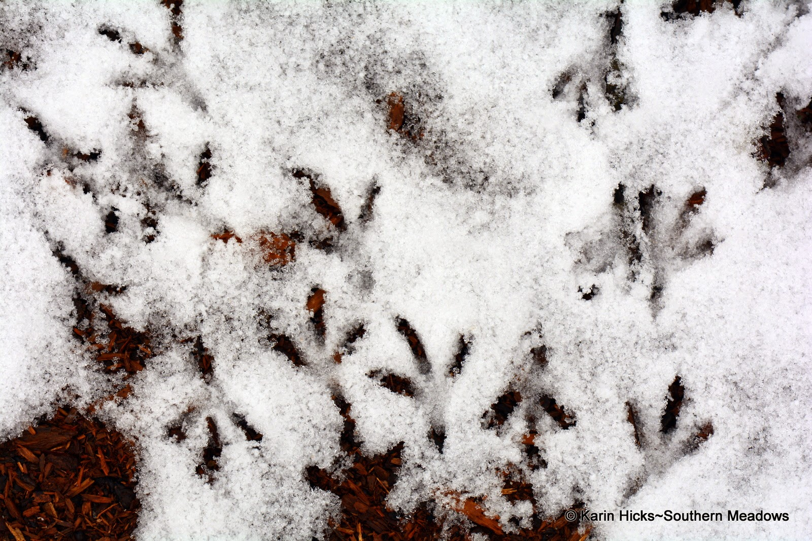 Mourning dove footprints in snow