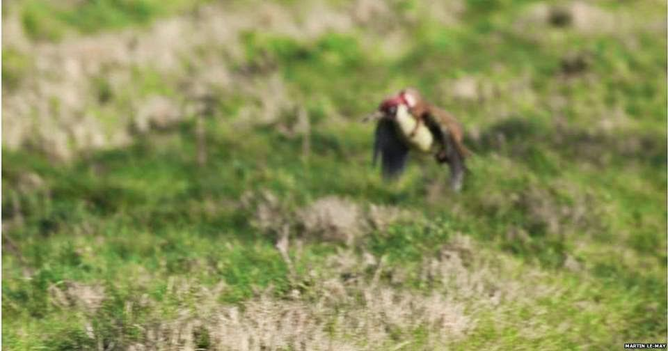 photo sequence taken by Martin Le-May shows a green woodpecker flying with a weasel on its back LONDON UK march 3th nevastuica si ciocanitoarea zboara marti 3 martie 2015 fotografie imagine poza reala!!! miercurea fara cuvinte