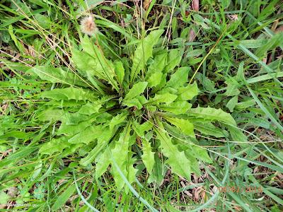 Πικροράδικα-Taraxacum sp.