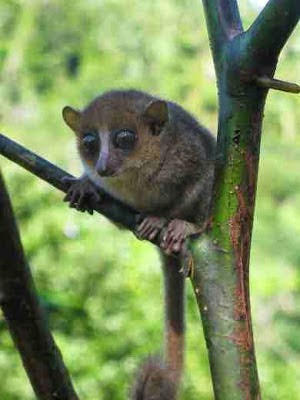 http://sciencythoughts.blogspot.co.uk/2012/01/new-mouse-lemur-discovered-in.html