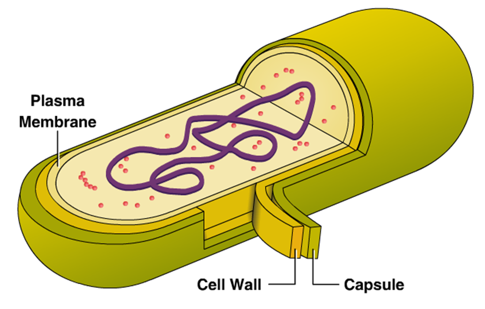 Innovic Medical: External Structure of Bacteria