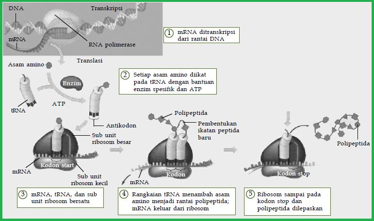 Proses sintesis protein tahapan atau urutan sintesis protein ribosom sebagai tempat pembuatan protein terdiri atas dua bagian yang disebut subunit kecil dan subunit besar secara garis besar translasi dibagi menjadi ccuart Image collections