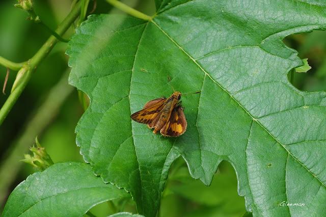 雞南山的竹橙班弄蝶