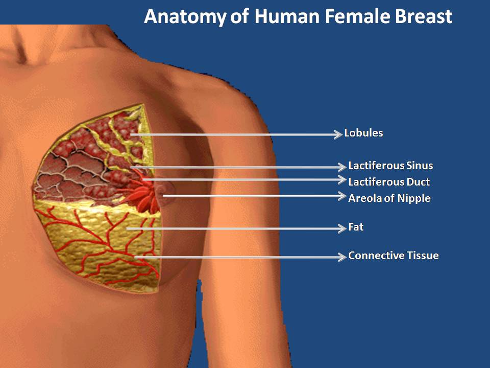 Female human breast