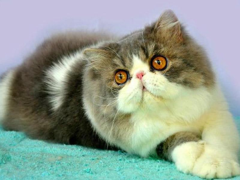 Mengenal Kucing Peaknose Kucing Gue
