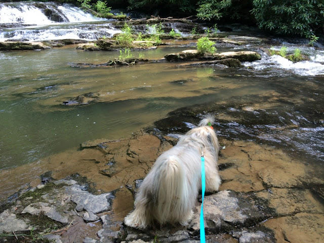 hiking with Rocco Havanese at Tumbling Waters trail