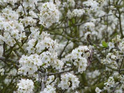 Plum tree in full bloom close up 31 Mar 2012