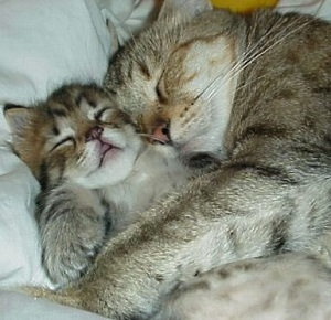 dua kucing sedang bobo lucu