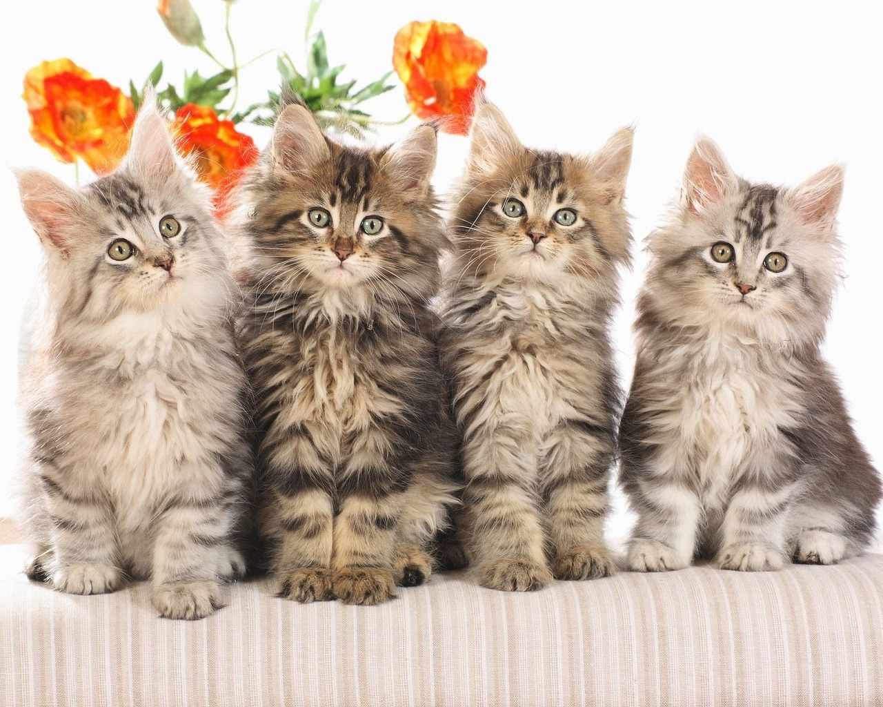 cat wallpaper widescreen for dekstop   cat wallpaper