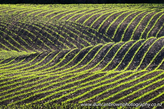 Newly-planted crop contours and patterns in Te Aute photograph