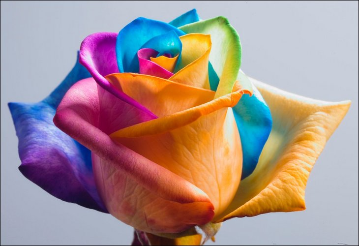 get images beautiful rainbow roses