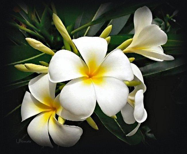 Im Genes De Flores Y Plantas Jazmines