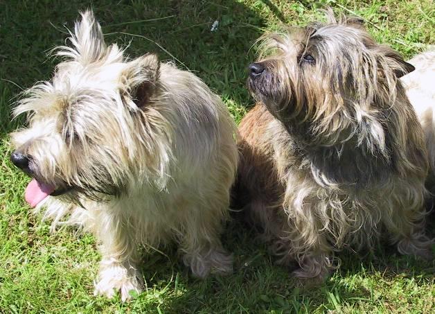 Cairn Terrier Dog Breed desktop wallpaper