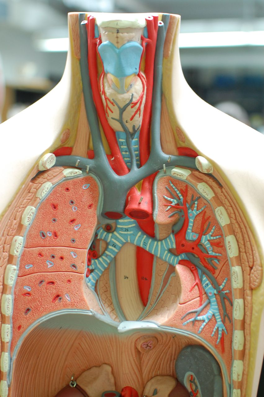 Human Anatomy Lab: The Respiratory System