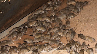 mice control london ontario