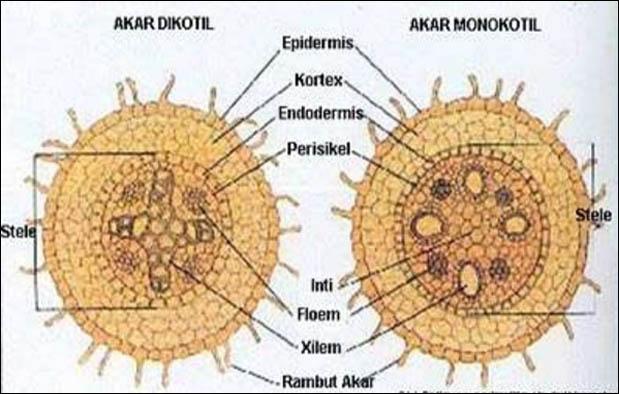 Setiap bagian dari tumbuhan memiliki jaringan 4 Jaringan Penyusun Akar, Penjelasan dan Gambar Ilustrasinya