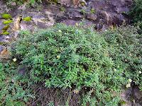 Erigeron karvinskianus - Paquerette des murailles