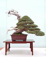 Una maravilla de bonsai con maderas muertas